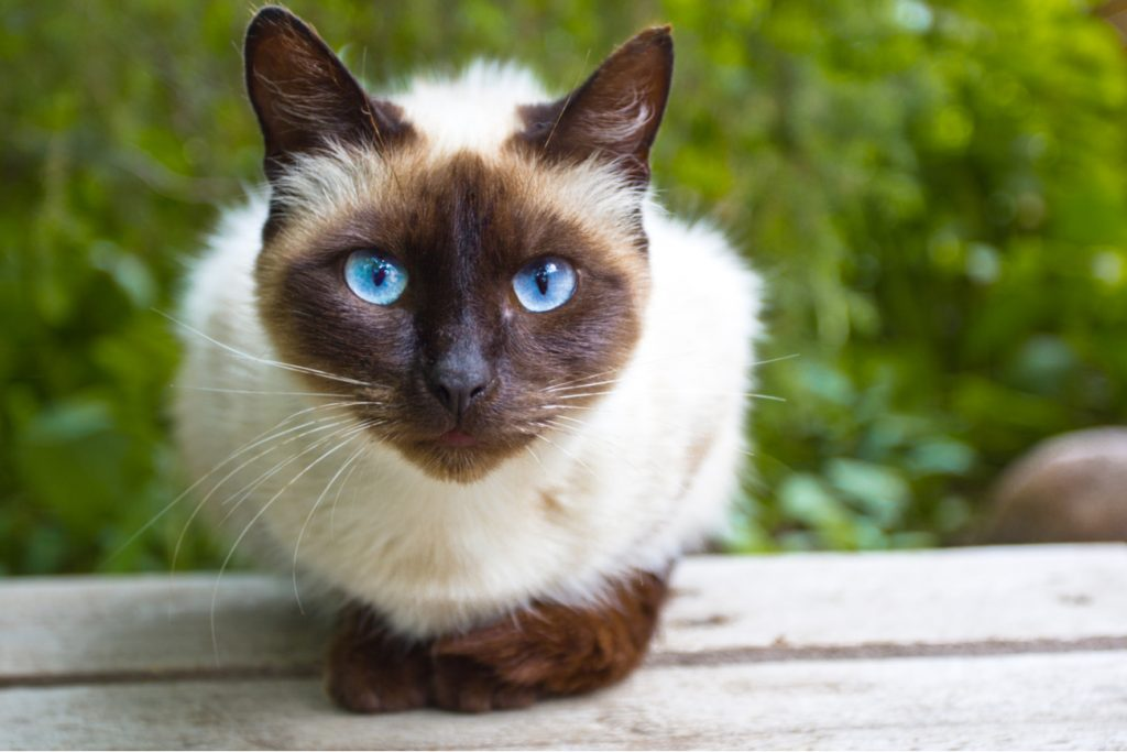 Siamese cat on table