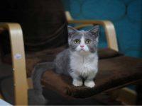 Small cat munchkin on seat
