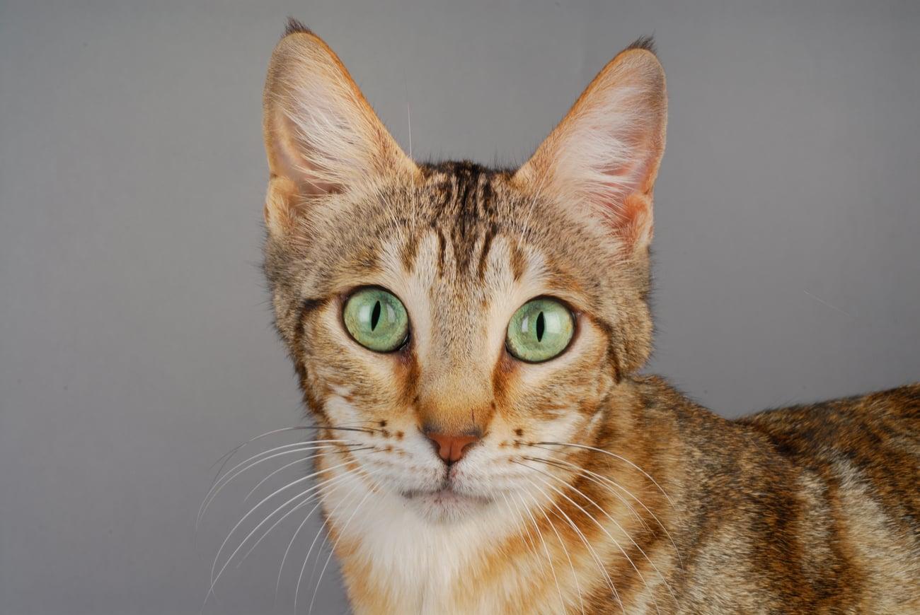 Sokoke cat standing