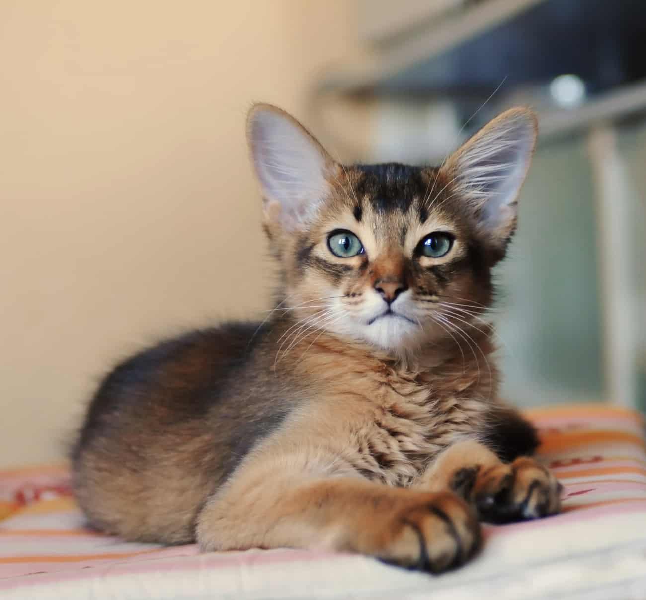 Somali cat laying down