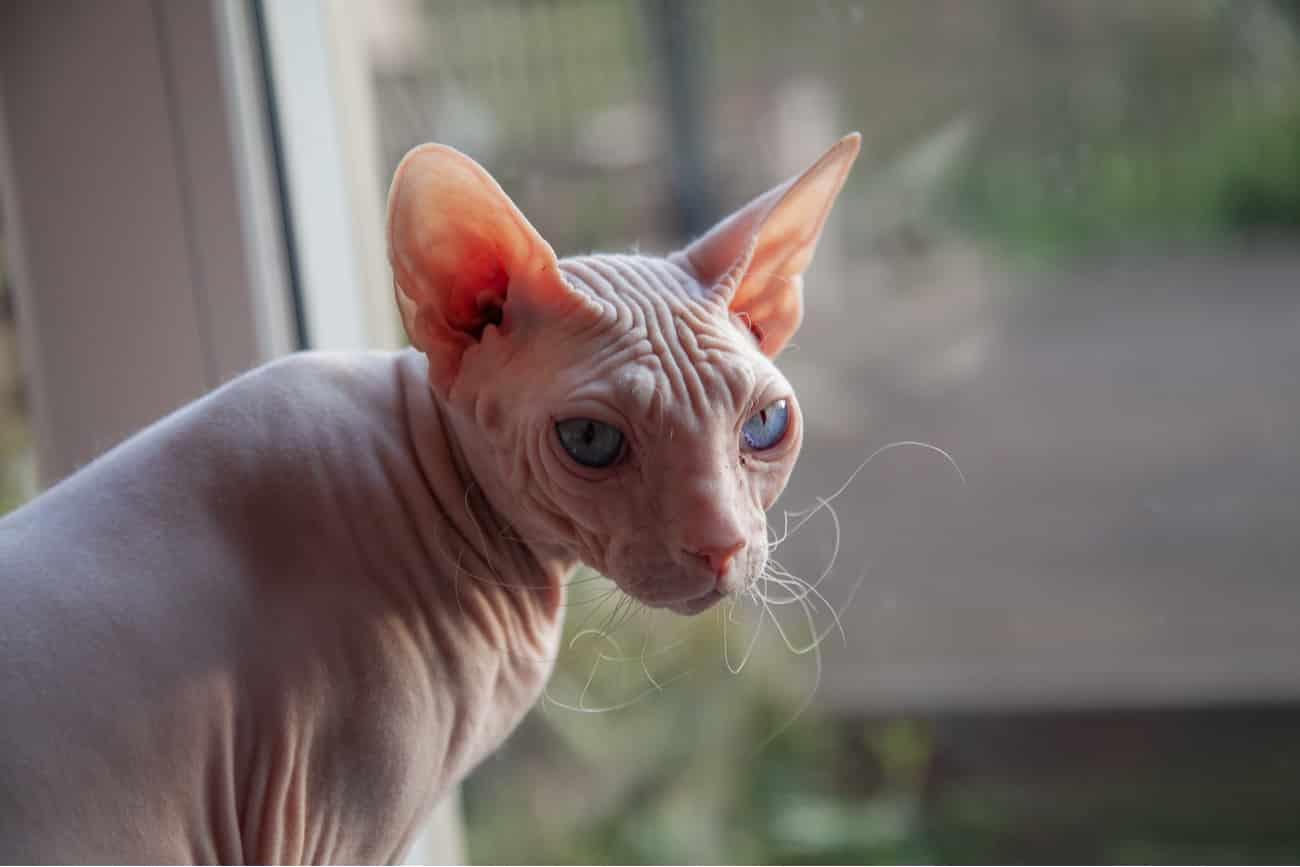 Sphynx cat looking out window