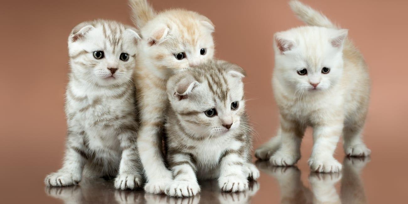 flat face kittens