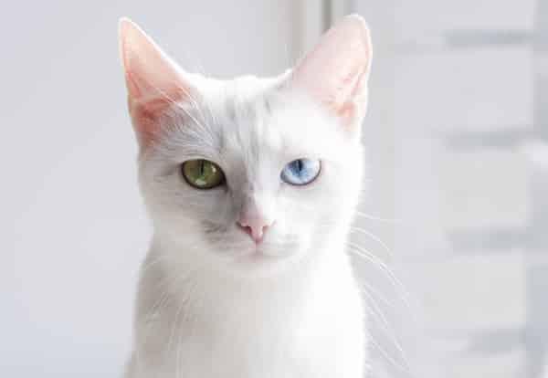 Khao manee cat