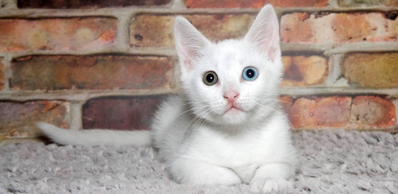 white khao manee kitten