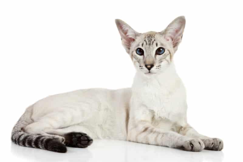 oriental cat sitting