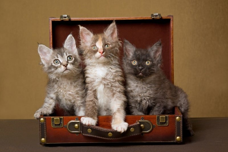 LaPerm cats in suitcase